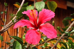 Pink hibiscus flower. And green leaf Royalty Free Stock Photo