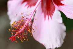 Pink Hibiscus flower Stock Image