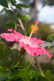 Pink hibiscus flower hibiscus flower closeup Royalty Free Stock Images