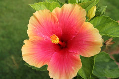 Pink Hibiscus Flower - Hibiscus rosa-sinensis Royalty Free Stock Photo