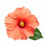 Pink hibiscus flower isolated. Bright pink hibiscus flower isolated on white background Royalty Free Stock Photo