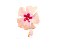 Pink hibiscus flower isolated on white. Background Royalty Free Stock Images