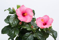 Pink hibiscus Stock Photos