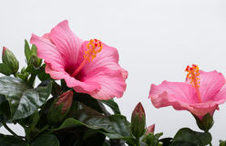 Pink hibiscus flower Royalty Free Stock Photo