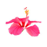 Pink hibiscus flower isolated on white. Background Royalty Free Stock Photos