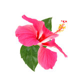 Pink hibiscus flower isolated on white Royalty Free Stock Photos