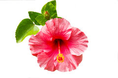 Pink hibiscus flower isolated on white background. Beautiful pink hibiscus flower blossom isolated on white background Stock Image