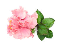 Pink hibiscus flower with leaves on white background. Royalty Free Stock Photo