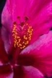 Pink hibiscus flower macro Stock Image