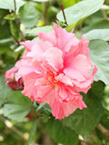 Pink hibiscus flower (Malvaceae, mallow family). Close up Stock Photos