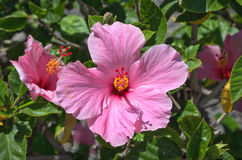 Pink Hibiscus. Flower  maui tropical colorful beautiful green Hawaii pistel Stock Photos