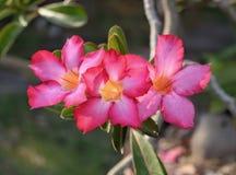 Pink hibiscus flower. Pink hibiscus flower in nature summer day Stock Photos