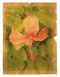 Pink hibiscus flower on a piece of old paper. Stock Image