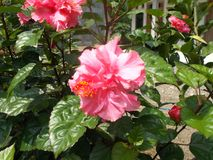 Pink hibiscus flower Royalty Free Stock Images