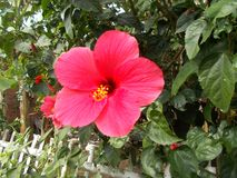 Pink hibiscus flower 3 Royalty Free Stock Photos