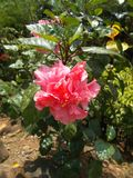 Hibiscus flower garden. Pink hibiscus flower on the tree on the garden Stock Images