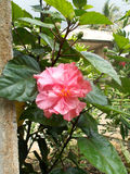 Pink hibiscus flower. On the tree Stock Photos
