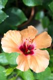Pink hibiscus flower Stock Images