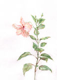 Pink hibiscus flower watercolor painting. The hand drawn watercolor of a creamy-pink hibiscus flower Royalty Free Stock Photos