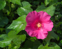 Pink hibiscus flower wet rain after the rain had passed. Royalty Free Stock Photo