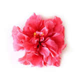 Pink Hibiscus flower on white background Stock Photography