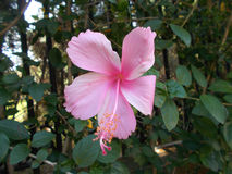 Pink hibiscus flower. On the tree Royalty Free Stock Photography