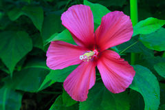 Pink Hibiscus Flowering Plant Royalty Free Stock Image