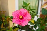 Pink Hibiscus flowers Royalty Free Stock Photography