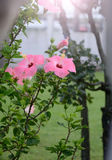 Pink hibiscus flowers Stock Image