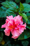 Pink Hibiscus flowers Royalty Free Stock Images