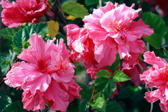 Pink Hibiscus Flowers. Hibiscus is a genus of flowering plants in the mallow family, Malvaceae. It is quite large, containing several hundred species that are Stock Images