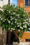 Pink Hibiscus flowers on a very old vine against an orange house in Corfu Greece Royalty Free Stock Photo