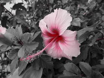 Pink Hibiscus stock image