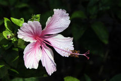 Pink Hibiscus - Hawaii Stock Photography