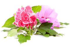 Pink hibiscus and hortensia flowers Royalty Free Stock Photography