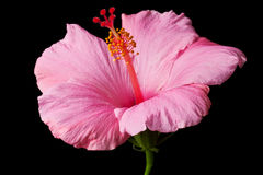 Pink hibiscus isolated Royalty Free Stock Photography
