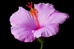 Pink hibiscus isolated Stock Images