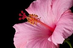 Pink hibiscus isolated Royalty Free Stock Image