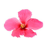 Pink hibiscus isolated on white background Royalty Free Stock Photo