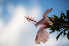 Pink hibiscus, macro shot, italy,. Gardening Stock Photos