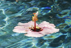 Pink hibiscus in a pool Royalty Free Stock Photos