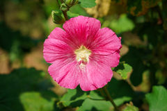 Pink Hibiscus rosa-sinensis flower Royalty Free Stock Photos