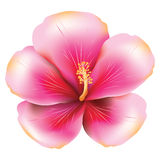 Pink hibiscus Royalty Free Stock Images