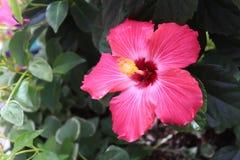 Pink hibiscus. Vibrant dark pink hibiscus against dark green leaves Royalty Free Stock Photos