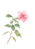 Pink hibiscus watercolor painting vector illustration