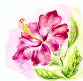Pink hibiscus, watercolor painting. Stock Photography