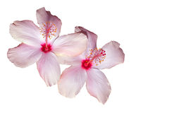 Pink Hibiscus on White Royalty Free Stock Photos