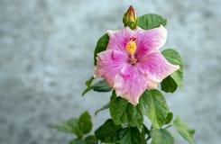 Pink hibiskusblomman royaltyfri foto