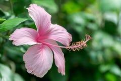 Pink hibiskusblomman Arkivfoto