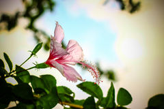 Pink hibiskusblomman Royaltyfri Bild